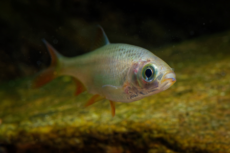 Golden Orfe - Leuciscus idus  freshwater fish of the family Cyprinidae found in larger rivers, ponds, and lakes across northern Europe and Asia. Banco de Imagens