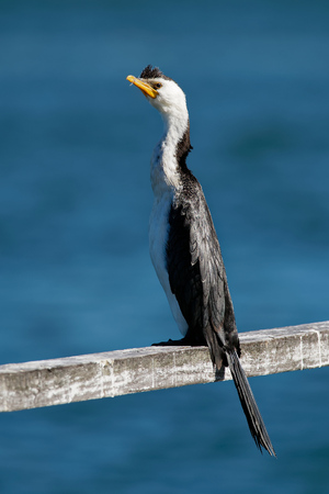 Little pied cormorant, little shag or kawaupaka (Microcarbo melanoleucos) drying its wings above the water, Australia