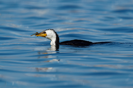 Little pied cormorant, little shag or kawaupaka (Microcarbo melanoleucos) with the caught prey - seahorse, in the water, ocean in Australia