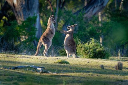 Macropus giganteus - Eastern Grey Kangaroos fighting with each other in Tasmania in Australia. 版權商用圖片