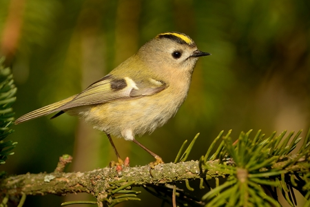 Goldcrest - Regulus regulus sitting on the branch and singing