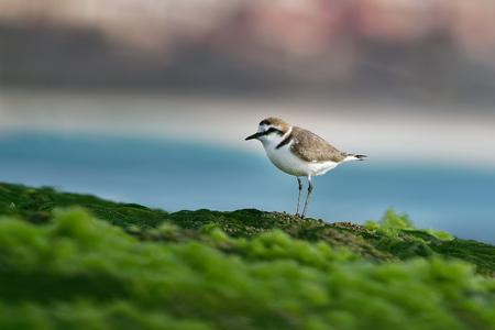 Kentish Plover - Charadrius alexandrinus on the beach on the seaside, summer in Cape Verde, green algae, blue ocean