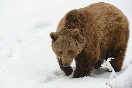 Brown Bear - Ursus arctos on the snow in winter.