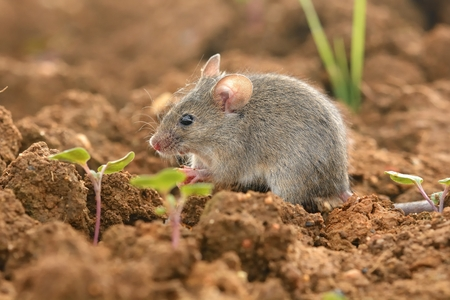 Eastern House Mouse - Mus musculus on the ground, brown background Standard-Bild - 114322055