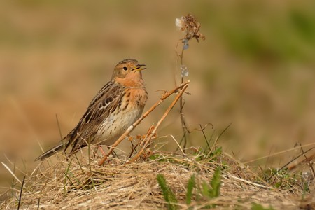 Red-throated Pipit - Anthus cervinus in the meadow. 免版税图像