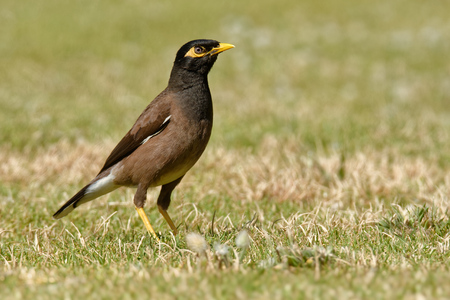 Common Myna - Acridotheres tristis or Indian myna , sometimes spelled mynah,member of the family Sturnidae (starlings and mynas) native to Asia, invasive in Australia.