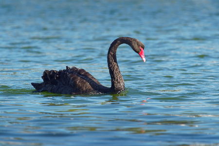 Black Swan - Cygnus atratus - australian big swan on the lake in Australia, Tasmania.