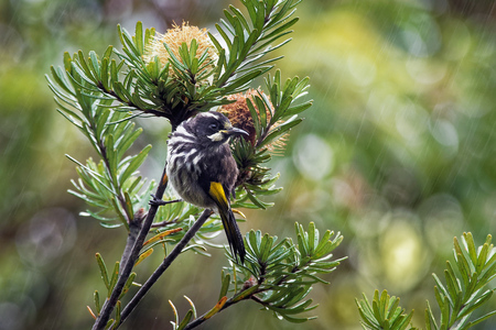 New Holland Honeyeater - Phylidonyris novaehollandiae - australian bird with yellow color in the wings. Australia, Tasmania. Stock Photo