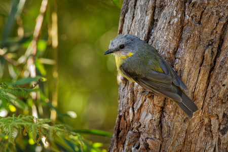 Eastern Yellow Robin - Eopsaltria australis - australian brightly yellow small song bird, southern and eastern Australia.