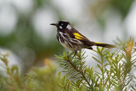 New Holland Honeyeater - Phylidonyris novaehollandiae - australian bird with yellow color in the wings. Australia, Tasmania. Stock Photo