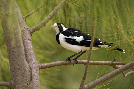 Magpie-lark - Grallina cyanoleuca known as the peewee, peewit or mudlark, is a passerine bird native to Australia, Timor and southern New Guinea.