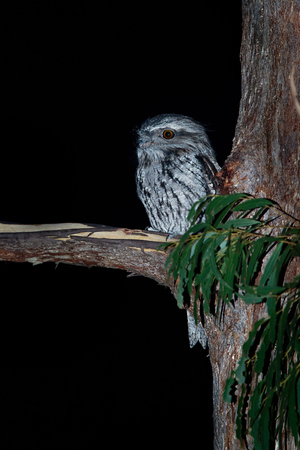 Tawny Frogmouth (Podargus strigoides) nightjar from Australia, sitting on the tree in the night.