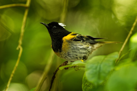 Stitchbird - Notiomystis cincta - Hihi in Maori language, endemic bird sitting on the branch in the New Zealand forest.