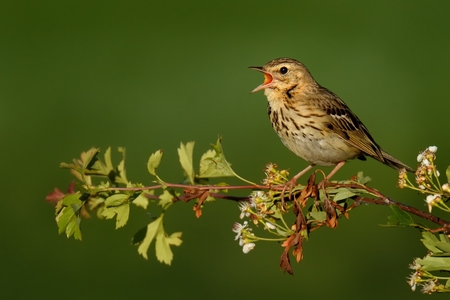 Singing Tree Pipit (Anthus trivialis) perched on a hawthorn branch.