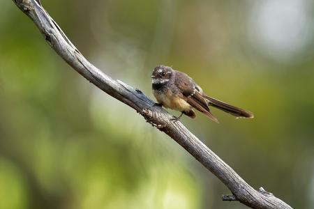 Grey Fantail - Rhipidura albiscapa - small insectivorous bird. It is a common fantail found in Australia (except western desert areas), the Solomon Islands, Vanuatu and New Caledonia. Stockfoto