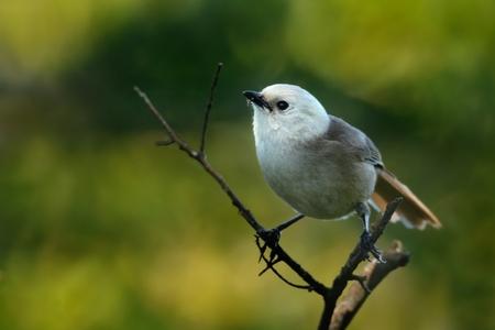 Whitehead - Mohoua albicilla - popokatea small bird from New Zealand, white head and grey body. Stock Photo