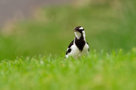Magpie-lark - Grallina cyanoleuca known as the peewee, peewit or mudlark, is a passerine bird native to Australia, Timor and southern New Guinea.