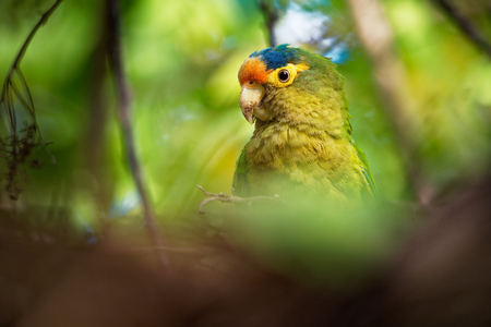 Orange-fronted Parakeet - Eupsittula canicularis or orange-fronted conure, also known as the half-moon conure, medium-sized parrot resident from western Mexico to Costa Rica.