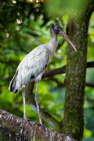 Wood Stork - Mycteria americana formerly called the wood ibis. Found in subtropical and tropical habitats in the Americas. Imagens - 115693606