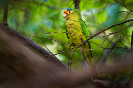 Orange-fronted Parakeet - Eupsittula canicularis or orange-fronted conure, also known as the half-moon conure, medium-sized parrot resident from western Mexico to Costa Rica. Stock Photo