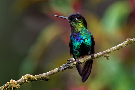 Fiery-throated Hummingbird - Panterpe insignis medium-sized hummingbird breeds only in the mountains of Costa Rica and Panama. Standard-Bild