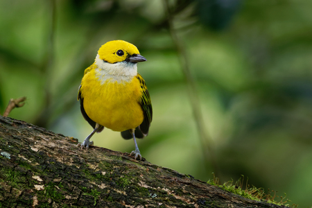 Tangara icterocephala - Silver-throated Tanager small passerine bird., resident from Costa Rica, through Panama and western Colombia, to western Ecuador. Stock Photo