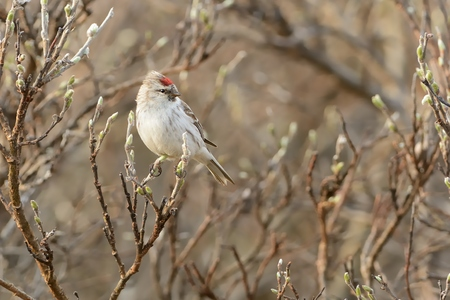 Arctic Redpoll - Acanthis hornemanni known in North America as the hoary redpoll, is a bird species in the finch family Fringillidae. It breeds in tundra birch forest.