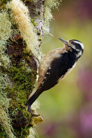 Hairy Woodpecker - Leuconotopicus villosus,  living in the Bahamas, Canada, Costa Rica, Guatemala, Honduras, Mexico, Nicaragua, Panama, Puerto Rico, United States.