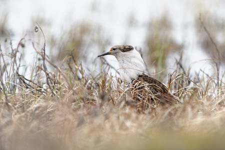 Ruff - Philomachus pugnax standing on the grassland during mating season in Varanger, Norway. Banque d'images