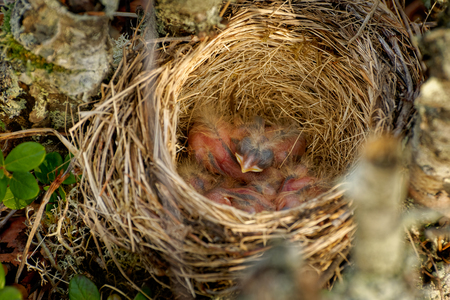 Nest of the Redwing - Turdus iliacus, bird in the thrush family, Turdidae, native to Europe and Asia, slightly smaller than the related song thrush.