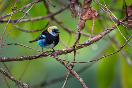 Golden-hooded Tanager - Tangara larvata medium-sized passerine bird. This tanager is a resident breeder from southern Mexico south to western Ecuador