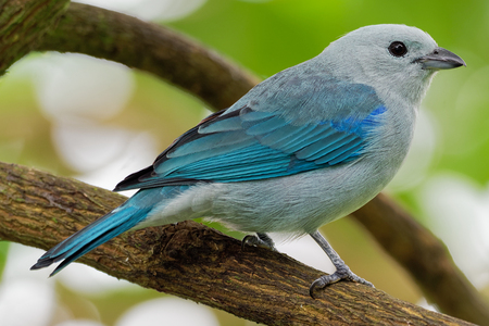 Blue-grey Tanager - Tangara episcopus medium-sized South American songbird of the tanager family, Thraupidae, range is from Mexico south to northeast Bolivia. Stock Photo