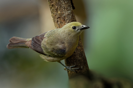 Palm Tanager - Tangara palmarum is medium-sized passerine bird, resident breeder from Nicaragua south to Bolivia, Paraguay and southern Brazil. It also breeds on Trinidad and Tobago