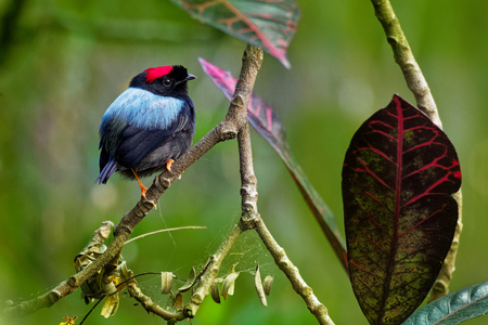 Long-tailed manakin - Chiroxiphia linearis species of bird in the Pipridae family native to Central America. Costa Rica, Panama, Nicaragua, Honduras, Belize, Guatemala