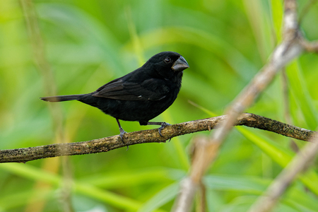 Thick-billed Seed-finch - Sporophila funerea - Oryzoborus funereus bird in the family Thraupidae, found from Southern Mexico, through Central America, to the Choc in Colombia and Ecuador.