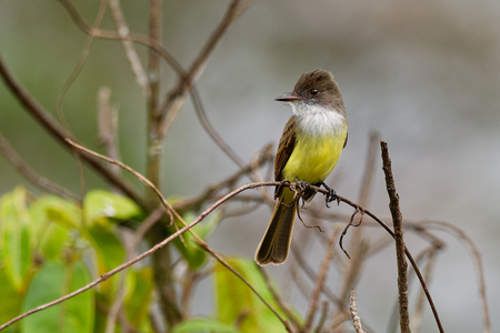 Dusky-capped Flycatcher - Myiarchus tuberculifer passerine bird in the tyrant flycatcher family, breeds in forest and other woodland from southern Arizona to northern Argentina and on Trinidad.