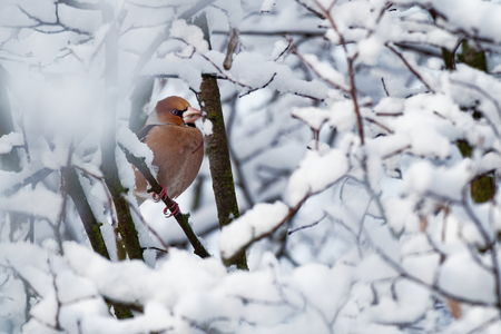 Hawfinch - Coccothraustes coccothraustes sitting on the branch in winter.