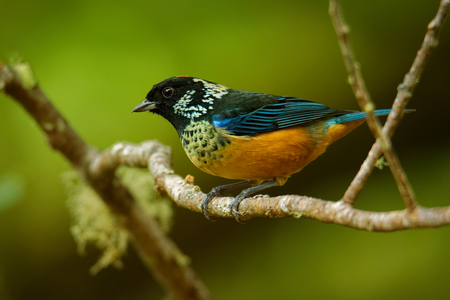 Spangle-cheeked Tanager - Tangara dowii passerine bird, endemic resident breeder in the highlands of Costa Rica and Panama, formerly considered conspecific with green-naped tanager