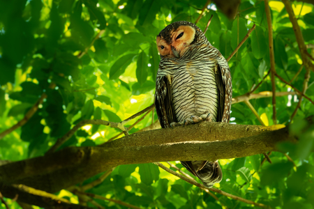 Spotted Wood-Owl - Strix seloputo, Strix owl, three subspecies are seloputo, wiepkini and baweana. 版權商用圖片