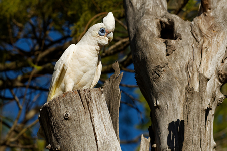 Little Corella - Cacatua sanguinea bird - feeding on the branch near Melbourne, Australia.