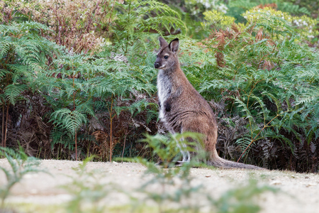 Bennetts wallaby - Macropus rufogriseus, also red-necked wallaby, medium-sized macropod marsupial, common in eastern Australia, Tasmania, introduced to New Zealand, England, Scotland, Ireland and France