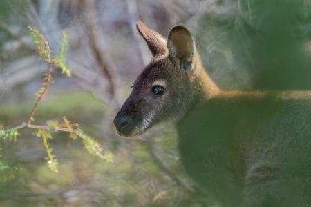 Wallaby de Bennett - Macropus rufogriseus, también wallaby de cuello rojo, marsupial macropodo de tamaño mediano, común en el este de Australia, Tasmania, introducido en Nueva Zelanda, Inglaterra, Escocia, Irlanda y Francia