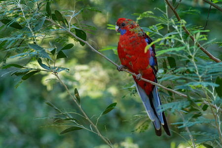 Crimson Rosella - Platycercus elegans a parrot native to eastern and south eastern Australia, introduced to New Zealand and Norfolk Island, mountain forests and gardens. 免版税图像