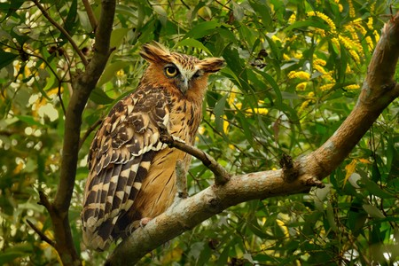 Buffy Fish Owl - Ketupa ketupu or Malay fish owl, is a species of owl in the family Strigidae. India and southern Burma, Cambodia, Laos and Vietnam, Thailand, Malaysia