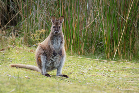 Bennett's wallaby - Macropus rufogriseus, also red-necked wallaby, medium-sized macropod marsupial, common in eastern Australia, Tasmania, introduced to New Zealand, England, Scotland, Ireland and France Foto de archivo