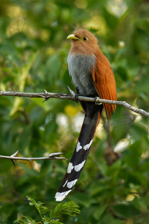Common Squirrel-cuckoo - Piaya cayana  large cuckoo found in woods from Mexico to northern Argentina and Uruguay. Mexican squirrel-cuckoo (Piaya mexicana). 免版税图像
