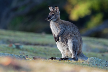 Bennett's wallaby - Macropus rufogriseus, also red-necked wallaby, medium-sized macropod marsupial, common in eastern Australia, Tasmania, introduced to New Zealand, England, Scotland, Ireland and France