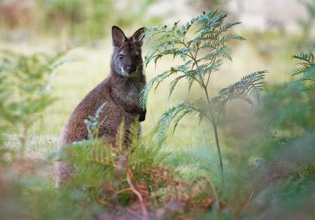 Wallaby de Bennett - Macropus rufogriseus, también wallaby de cuello rojo, marsupial macropodo de tamaño mediano, común en el este de Australia, Tasmania, introducido en Nueva Zelanda, Inglaterra, Escocia, Irlanda y Francia Foto de archivo