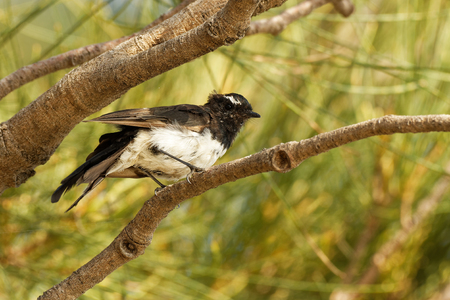 Willie-wagtail - Rhipidura leucophrys - black and white young australian bird, Australia, Tasmania.