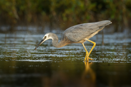 Egretta novaehollandiae - White-faced Heron hunting crabs during low tide in Australia.
